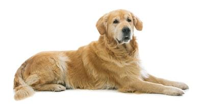 golden retriever lying on floor
