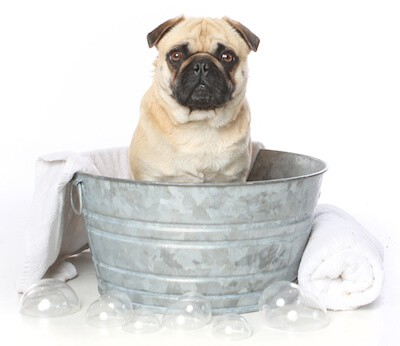 bathing a puppy pug