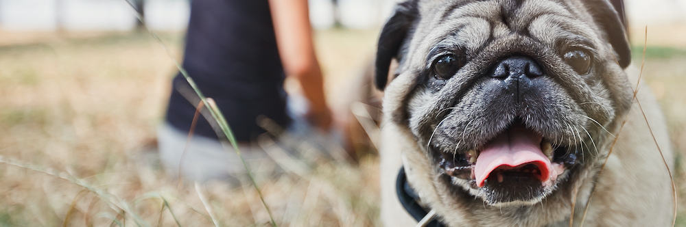 pug playing in the park