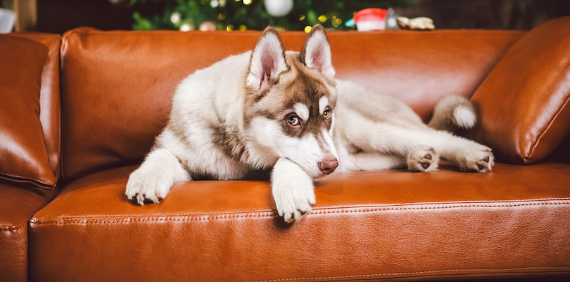 dog laying on leather couch