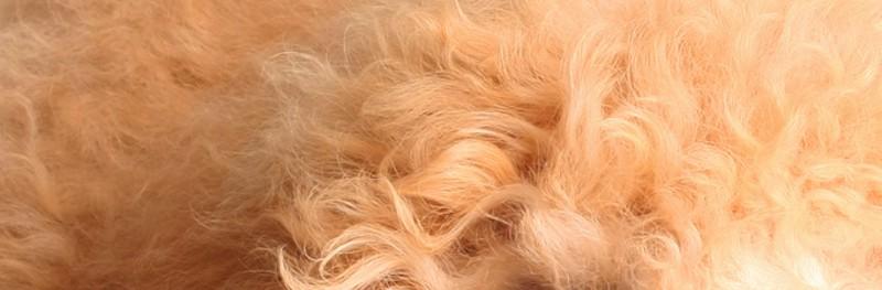 goldendoodle top coat