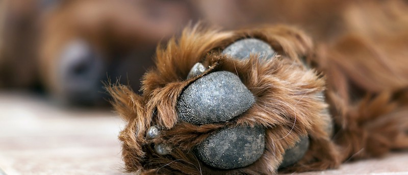 Try Coconut oil for dogs paws