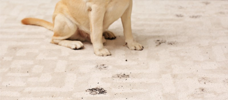muddy paws on carpet