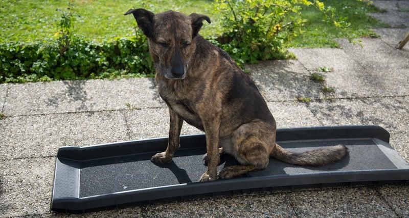 ramp for dog